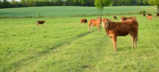 L'origine des races bovines